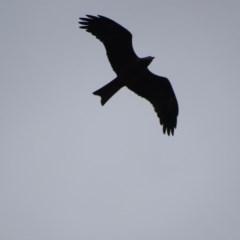 Milvus migrans (Black Kite) at Fyshwick, ACT - 4 May 2019 by roymcd