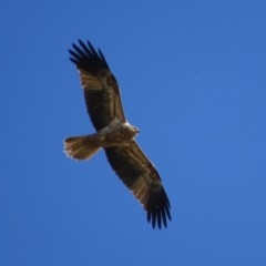 Haliastur sphenurus (Whistling Kite) at Jerrabomberra Wetlands - 6 May 2019 by roymcd