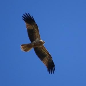 Haliastur sphenurus at Jerrabomberra Wetlands - 6 May 2019