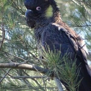 Calyptorhynchus funereus at Jerrabomberra Wetlands - 6 May 2019