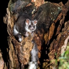 Petauroides volans (Greater Glider) at Tallaganda State Forest - 22 Dec 2018 by TyrieStarrs