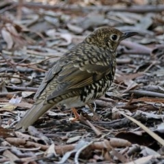 Zoothera lunulata (Bassian Thrush) at ANBG - 7 May 2019 by RodDeb