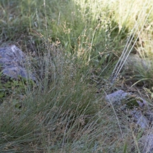 Fimbristylis dichotoma at Illilanga & Baroona - 12 Jan 2019