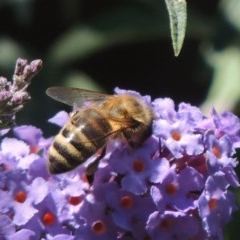 Apis mellifera (European honey bee) at Wingecarribee Local Government Area - 6 Feb 2015 by michaelb