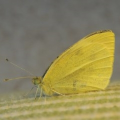 Pieris rapae (Cabbage White) at Wingecarribee Local Government Area - 9 Apr 2014 by michaelb