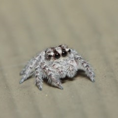 Servaea sp. (genus) (Unidentified Servaea jumping spider) at ANBG - 7 May 2019 by TimL