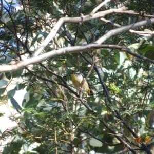 Pardalotus punctatus at Red Hill Nature Reserve - 6 May 2019