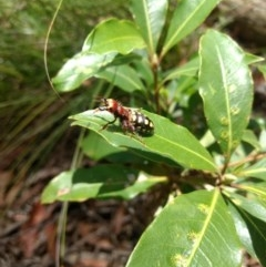 Thynnus zonatus (Native Flower Wasp) at Mittagong, NSW - 17 Jan 2019 by MattM