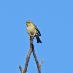 Ptilotula fuscus (Fuscous Honeyeater) at Jerrabomberra Wetlands - 9 May 2019 by RodDeb