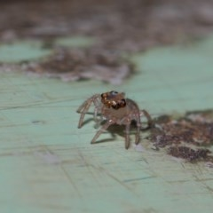 Prostheclina sp (genus) (A jumping spider) at ANBG - 9 May 2019 by TimL
