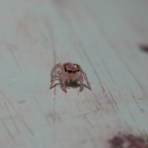 Prostheclina sp (genus) at ANBG - 9 May 2019