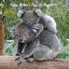 Phascolarctos cinereus (Koala) at Tidbinbilla Nature Reserve - 7 Nov 2017 by roymcd