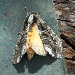 Neola semiaurata (Wattle Notodontid Moth) at O'Connor, ACT - 17 Dec 2017 by ibaird