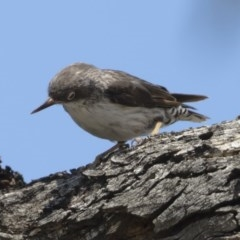 Daphoenositta chrysoptera (Varied Sittella) at Michelago, NSW - 12 Jan 2019 by Illilanga