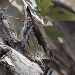 Daphoenositta chrysoptera at Michelago, NSW - 23 Dec 2018