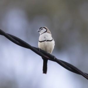 Taeniopygia bichenovii at Michelago, NSW - 3 Jan 2019