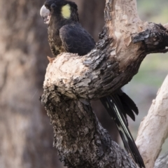 Calyptorhynchus funereus at Illilanga & Baroona - 12 Jan 2019