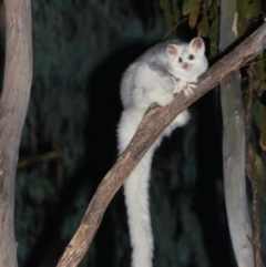Petauroides volans (Greater Glider) at Lower Cotter Catchment - 19 Apr 2019 by kdm