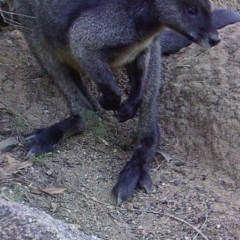 Wallabia bicolor (Swamp Wallaby) at Namadgi National Park - 25 Apr 2019 by DonFletcher