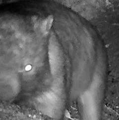 Vombatus ursinus (Wombat) at Namadgi National Park - 30 Mar 2019 by DonFletcher