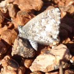 Theclinesthes serpentata (Saltbush Blue) at Fyshwick, ACT - 11 May 2019 by Christine