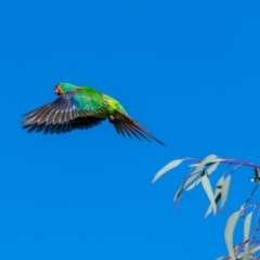Lathamus discolor (Swift Parrot) at Watson, ACT - 29 Sep 2018 by TyrieStarrs