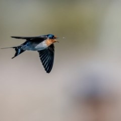 Hirundo neoxena (Welcome Swallow) at Jerrabomberra Wetlands - 29 Sep 2018 by TyrieStarrs