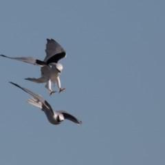 Elanus axillaris (Black-shouldered Kite) at Fyshwick, ACT - 11 May 2019 by rawshorty