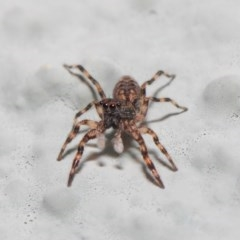 Salticidae (family) (Unidentified Jumping spider) at ANBG - 2 May 2019 by TimL