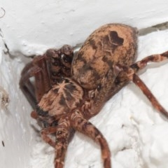 Heteropoda sp. (genus) (Huntsman spider) at ANBG - 11 May 2019 by TimL