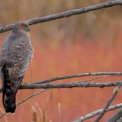 Circus assimilis (Spotted Harrier) at Jerrabomberra Wetlands - 27 Apr 2014 by rawshorty
