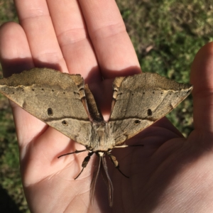 Chelepteryx chalepteryx at Wirreecoo Trail - 13 May 2019