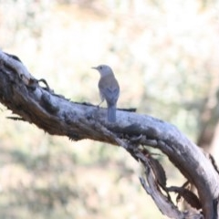 Colluricincla harmonica (Grey Shrike-thrush) at Red Hill Nature Reserve - 13 May 2019 by LisaH