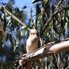 Dacelo novaeguineae (Laughing Kookaburra) at Hughes Grassy Woodland - 13 May 2019 by LisaH