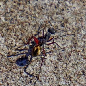 Camponotus suffusus at Brogo, NSW - 24 Apr 2019