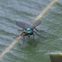 Austrosciapus sp. (genus) (Long-legged fly) at Acton, ACT - 24 Mar 2019 by JudithRoach
