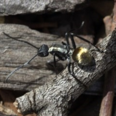 Polyrhachis ammon (Golden-tailed spiny ant) at ANBG - 24 Mar 2019 by JudithRoach
