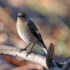 Petroica phoenicea (Flame Robin) at Googong Reservoir - 12 May 2019 by RodDeb
