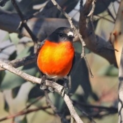 Petroica phoenicea (Flame Robin) at Googong Foreshore - 12 May 2019 by RodDeb