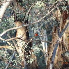 Petroica boodang (Scarlet Robin) at Red Hill Nature Reserve - 12 May 2019 by TomT