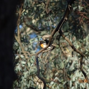 Petroica boodang at Red Hill Nature Reserve - 12 May 2019