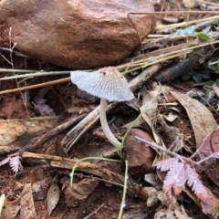 Coprinellus etc. (An Inkcap) at Red Hill Nature Reserve - 12 May 2019 by 49892