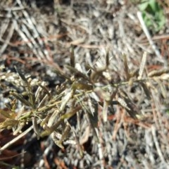 Eragrostis cilianensis (Stinkgrass) at TEST ONLY - test 2 - 14 May 2019 by Mike