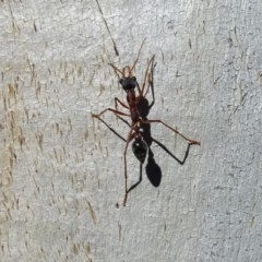 Myrmecia nigriceps (Black-headed bull ant) at Isaacs Ridge and Nearby - 14 May 2019 by Mike