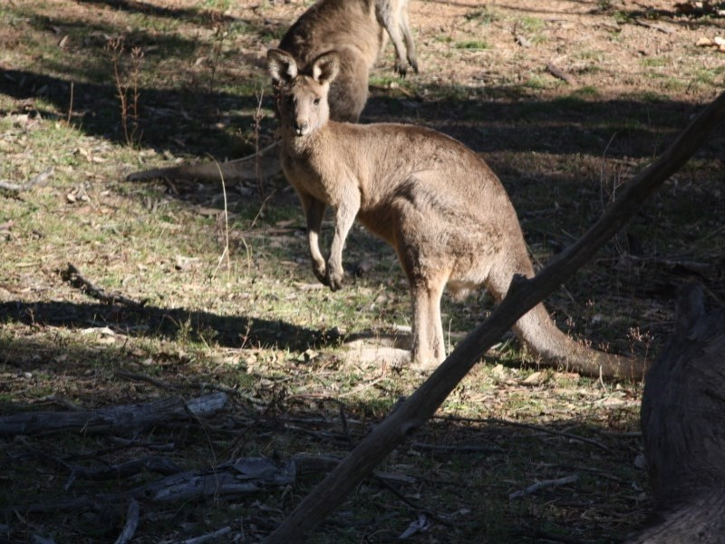 Macropus giganteus at Red Hill Nature Reserve - 14 May 2019