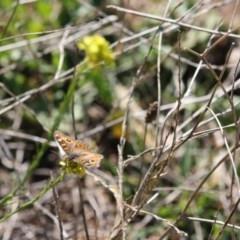 Junonia villida (Meadow Argus) at Red Hill Nature Reserve - 14 May 2019 by LisaH