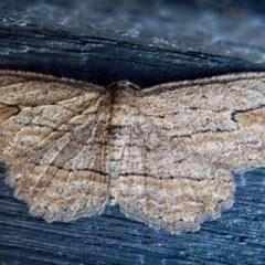 Ectropis excursaria (Common Bark Moth) at Banks, ACT - 11 May 2019 by UserfaKgHkxs