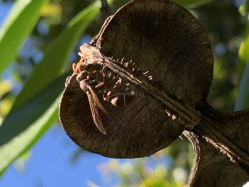 Ropalidia plebeiana at Berry, NSW - 14 May 2019
