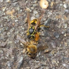 Vespula germanica (European wasp) at ANBG - 11 May 2019 by TimL