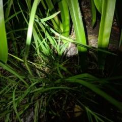 Limnodynastes dumerilii (Eastern Banjo Frog) at Moss Vale, NSW - 29 Mar 2019 by Margot
